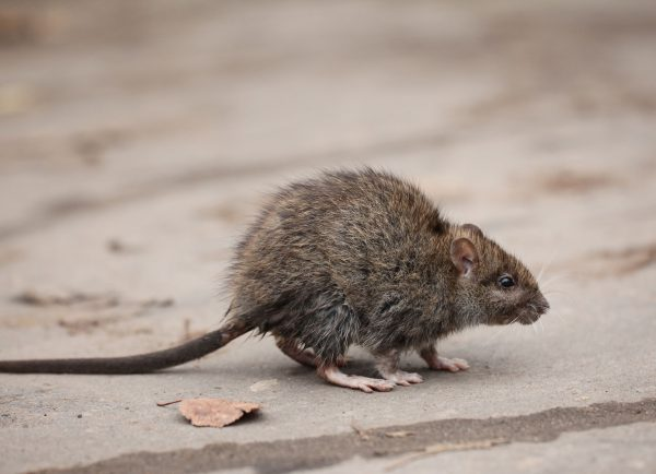 Mice & Rodents