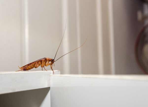 Close up a cockroach on white cupboard